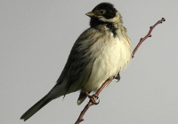 Red Bunting (Emberiza schoeniclus)