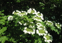 Guelder Rose in flower May