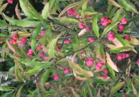 Spindle Tree in Fruit September