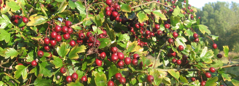Hawthorn Berries in the Autumn on Gatley Carrs
