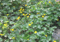 Marsh Marigold March - April