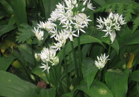 Ransoms or Wild Garlic April