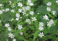 Stitchwort found on the stream path in April
