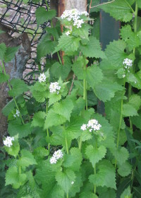 Garlic Mustard April
