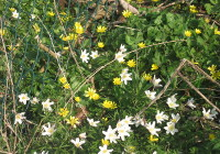 Celendines and Wood Anemones found along the stream in April