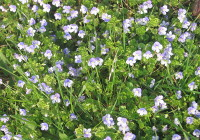 Field Speedwell found in April on the large field