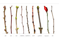 Twigs in Winter, Oak, Lime, Lilac, Hawthorn, Blackthorn, Larch, Sycamore, Dog Rose, Elm